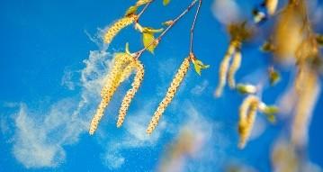 birch tree aments spreading pollen 01