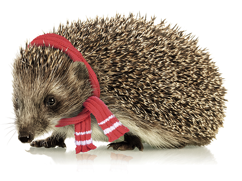 Close up hedgehog isolated on white background