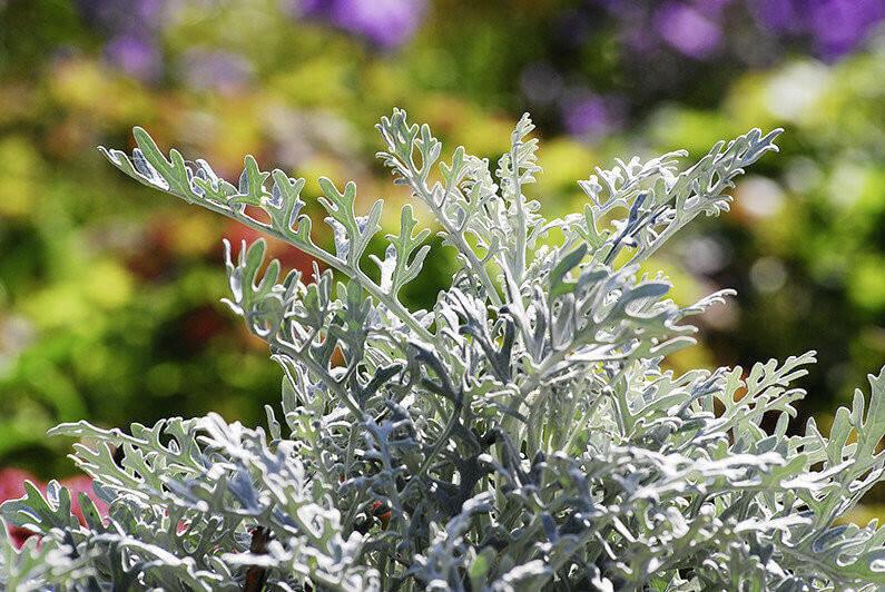 Aschenpflanze