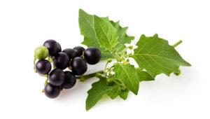 Schwarzer Nachtschatten (Solanum nigrum), Beeren, Blätter, Giftpflanze, Homöopathie;Freisteller
