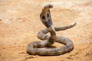 Schlangenbiss