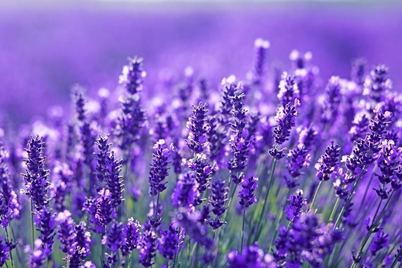 Lavendel Bild AdobeStock Urheber zea lenanet